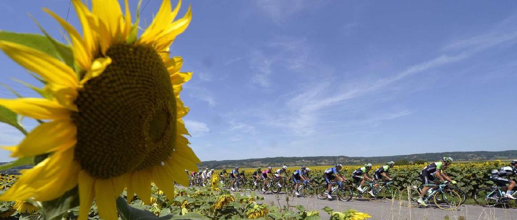 girasol en una imagen del tour de francia, foto preciosa para un cuadro personalizado